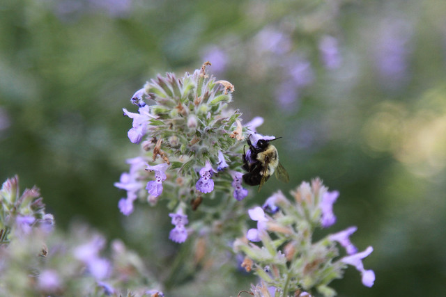 bumblebee in catmint by james casey