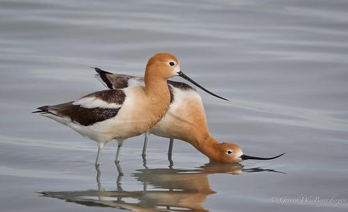 birds saskatchewan prairies waders americanavocet shorebirds recurvirostraamericana recurvirostridae amav chaplinlake