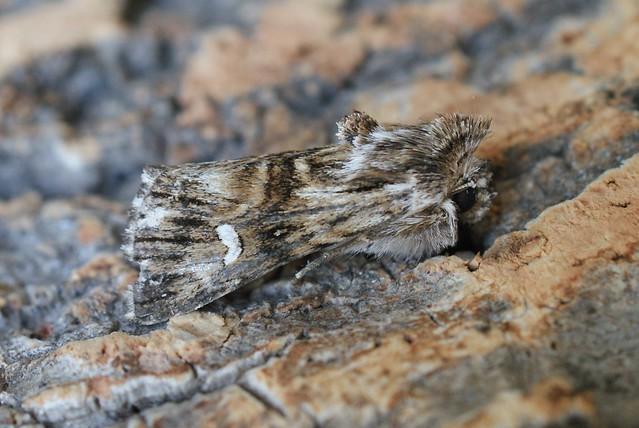 Toadflax Brocade (Calophasia lunula)
