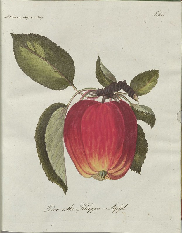 Der rothe Klapper-Apfel (hand-coloured botanical engraving courtesy kulturerbe niedersachsen)