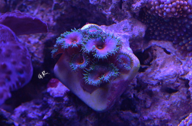 Tank breakdown sale.  Corals.  (closed) 10005107155_9dab0e256a_z