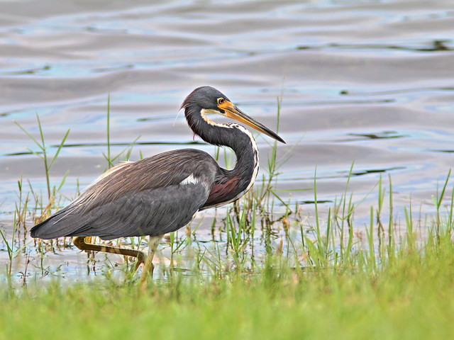Tricolored Heron 20131003