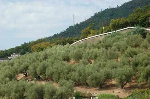 オリーブ園2