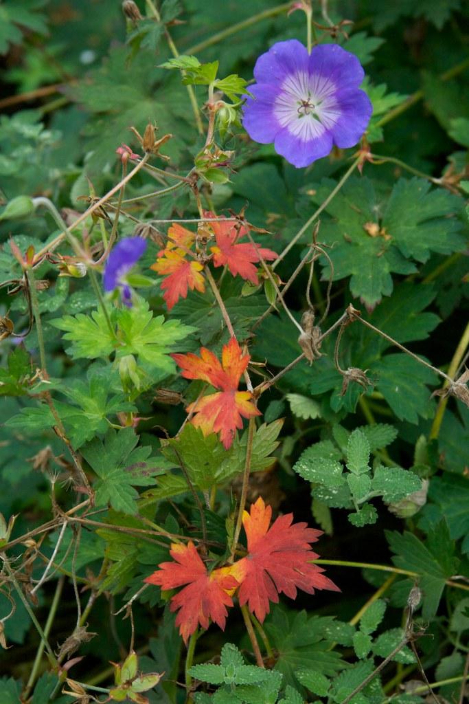 geranium rozanne  3645