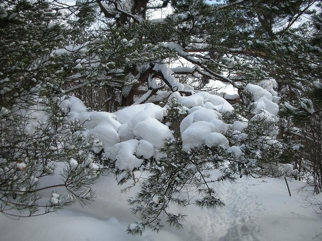 雪に押さえられたアカマツの枝.こうして盆栽のような枝振りになる.