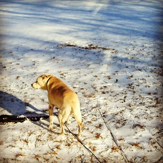First #snow of the season. Zeus loves it #dogstagram #newengland #bigdog