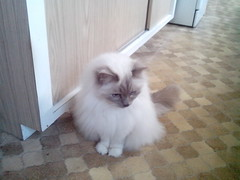 domestic long-haired cat, animal, persian, small to medium-sized cats, pet, ragdoll, cat, carnivoran, birman, himalayan,