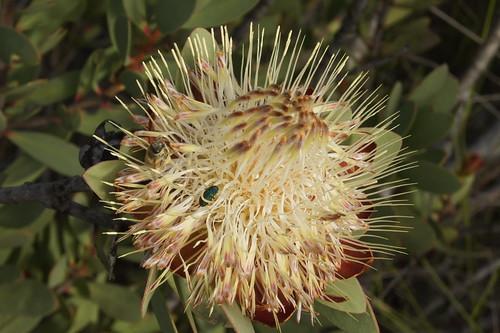 Protea glabra