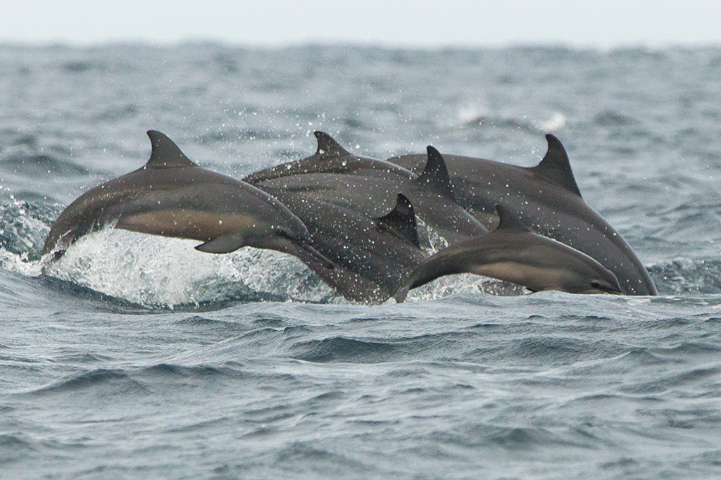 Spinner Dolphin 2013-12-03 (3)