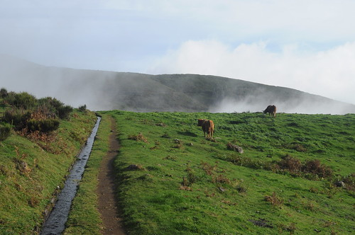 Cows by the levada #2
