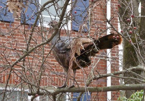 And a turkey in a crabapple tree