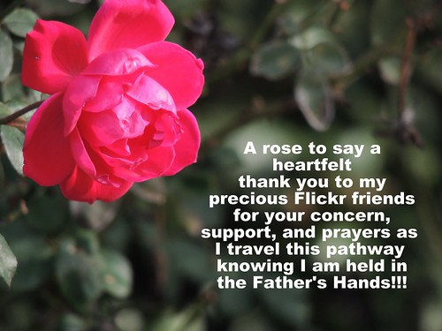 winter red plant flower rose landscape bush thankyou creation bloom chickfila