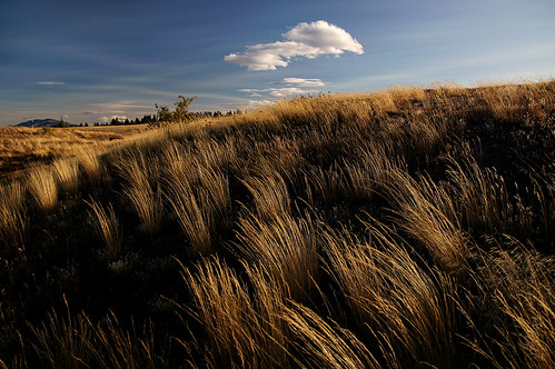 Tussocks in the wind.