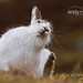 Mountain Hare Scratching - Cairngorms National Park (Lepus timidus) 9329 by Highland Andy (Andy Howard)