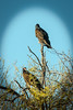 Turkey Vultures (1 of 1)-6
