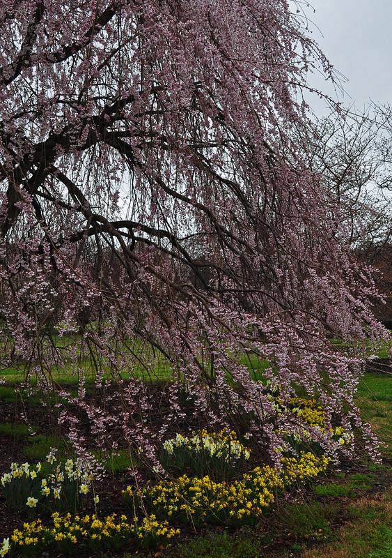Prunus subhirtella 'Pendula' (2)