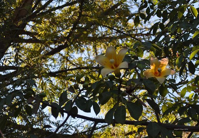 Flores de palo borracho - Samuhú