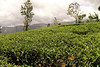 tea plantation by nor_sound