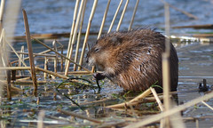 animal, rodent, nature, fauna, muskrat, whiskers, beaver, wildlife,