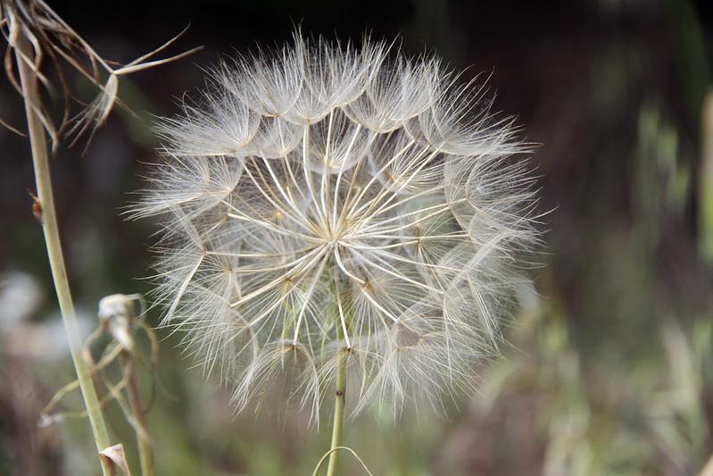 Fleur de pissenlit 14061882092_b71f5d3b76_c