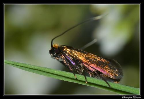 Cauchas rufimitrella femelle