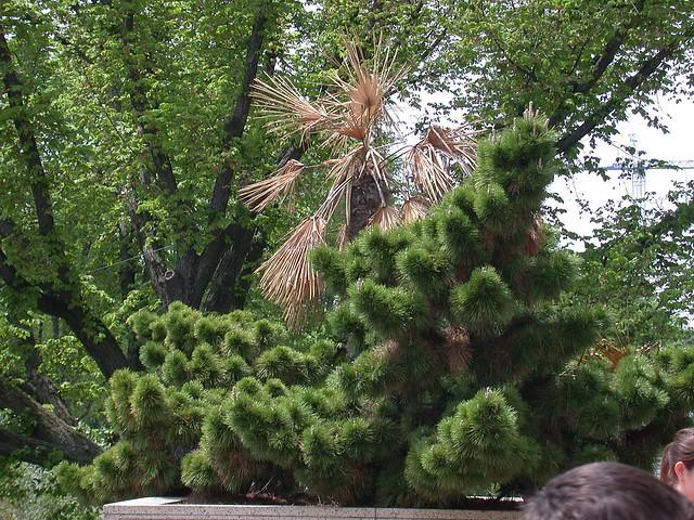 Windill palm