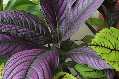 leaf, purple, plant, lilac, herb, flora, perilla frutescens,