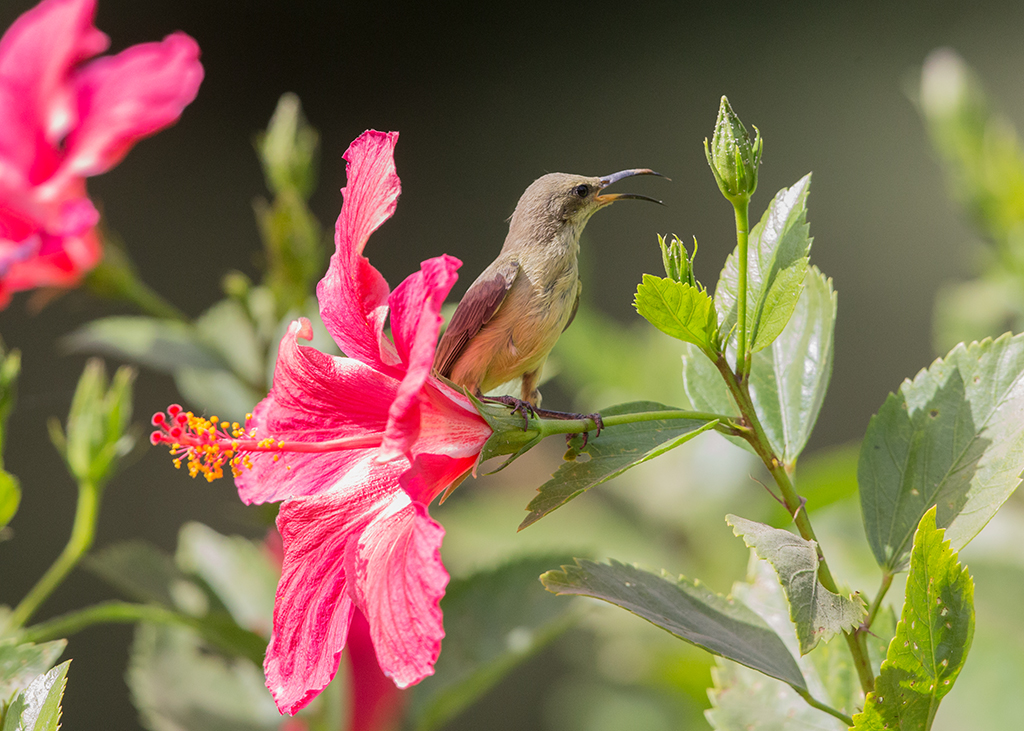 Beautiful Sunbird  Gambia