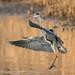 Grey Heron by Linda Martin Photography