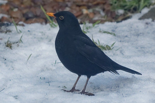 IMG_2062_DxO Male Blackbird