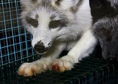 arctic fox, animal, dog, gray wolf, pet, mammal, greenland dog, wolfdog,
