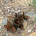 Fritillaries on saltlick (Peter Cullens)