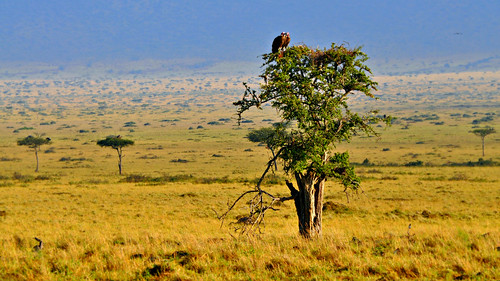 africa travel trees wild vacation holiday tree green love nature grass birds animals landscape nikon kenya adventure safari vultures mara savannah prey wilderness plains predator acacia yello ecosystem scavengers masaimara ecotourism eastafrica wildsafari masaimaranationalreserve nikonusers dreamylandscape nikond5000