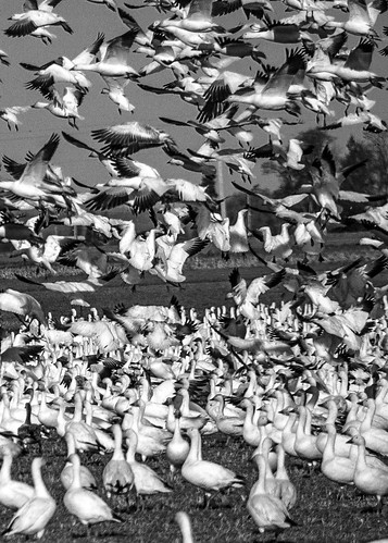 BYP52 2015 Week 7 Fill The Frame: Snow Geese