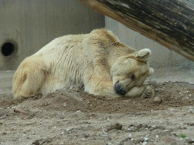 Syrischer Braunbär, Zoo Heidelberg