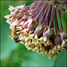 Honey Bee on Milkweed by Gene Wilburn