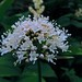 Small photo of Valerian