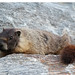 Small photo of Yellow Bellied Marmot