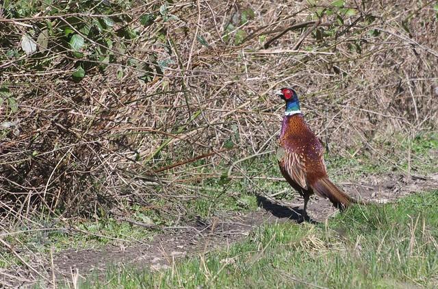 DSC_6412 Pheasant