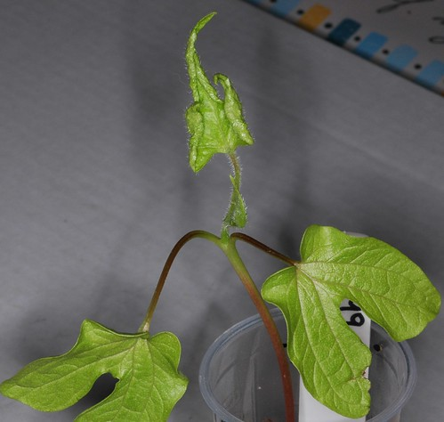 Ipomoea nil Q1099 Plant 6 by Gerris2