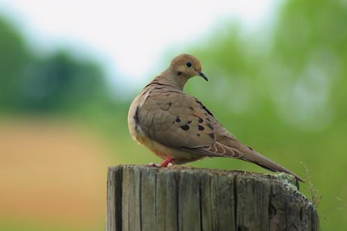 birds canon backyard mourning dove 60d canonef75300f456usm freedomtosoarlevel1birdsonly