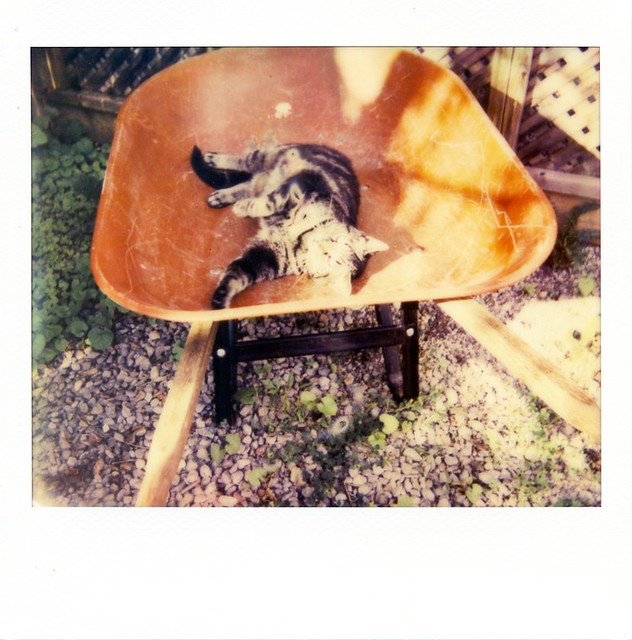 polaroid - cat in a wheelbarrow