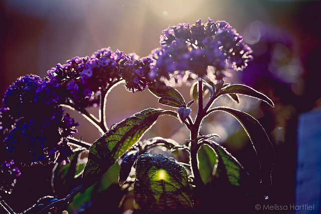 Heliotrope backlit at sunset