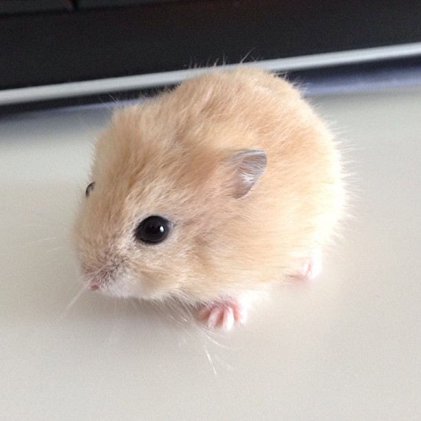 Cute overload. Godiva is a girl... #wintergold #hamster #godiva #cute #cuteoverload #nofilter #noedit #nomakeup