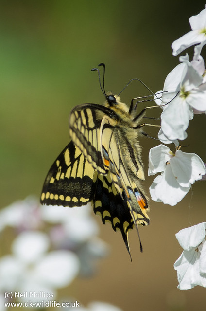 Swallowtail butterfly Papilio machaon-6