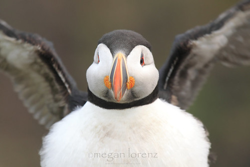 Puffin Power by Megan Lorenz