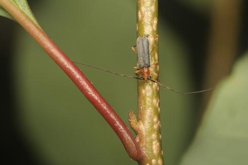 ヒゲナガヒメルリカミキリ