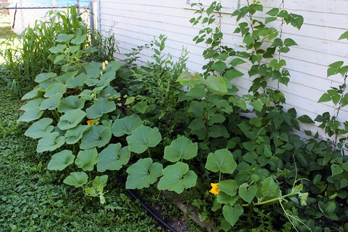 I'm growing pumpkins!!