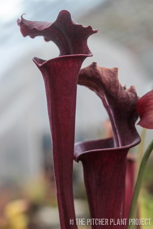 Sarracenia leucophylla 'Purple Lips' x flava var. rubricorpora