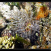 Bunodactis verrucosa ©cquintin
